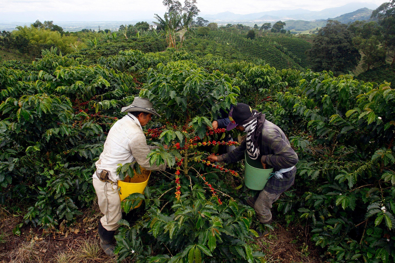plantatie cafea columbiana